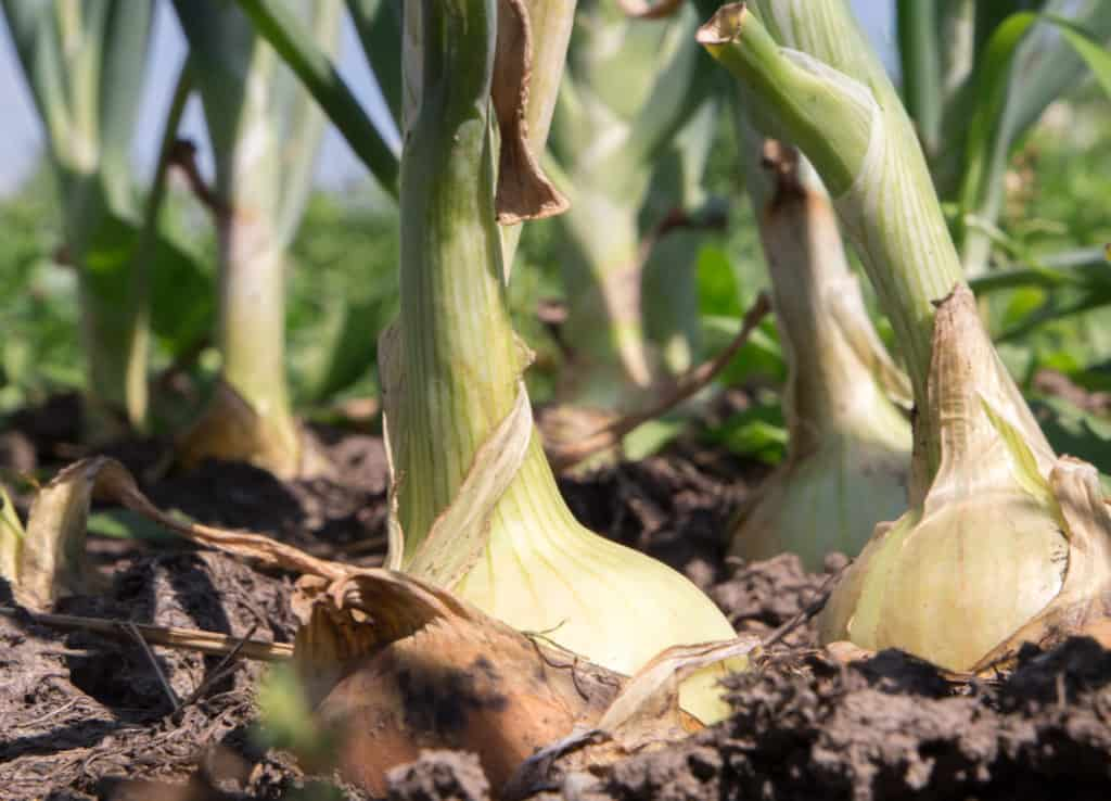 Onion Bulb Growth Is Affected By Dayight Hours And Temperature