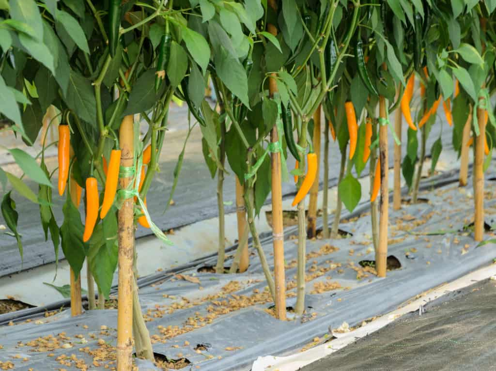 stakes supporting pepper plants