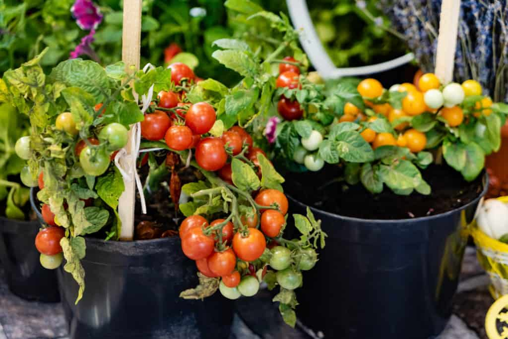 cherry tomatoes in pots
