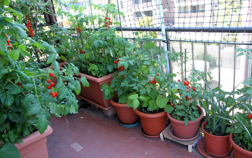 Tomatoes on a balcony