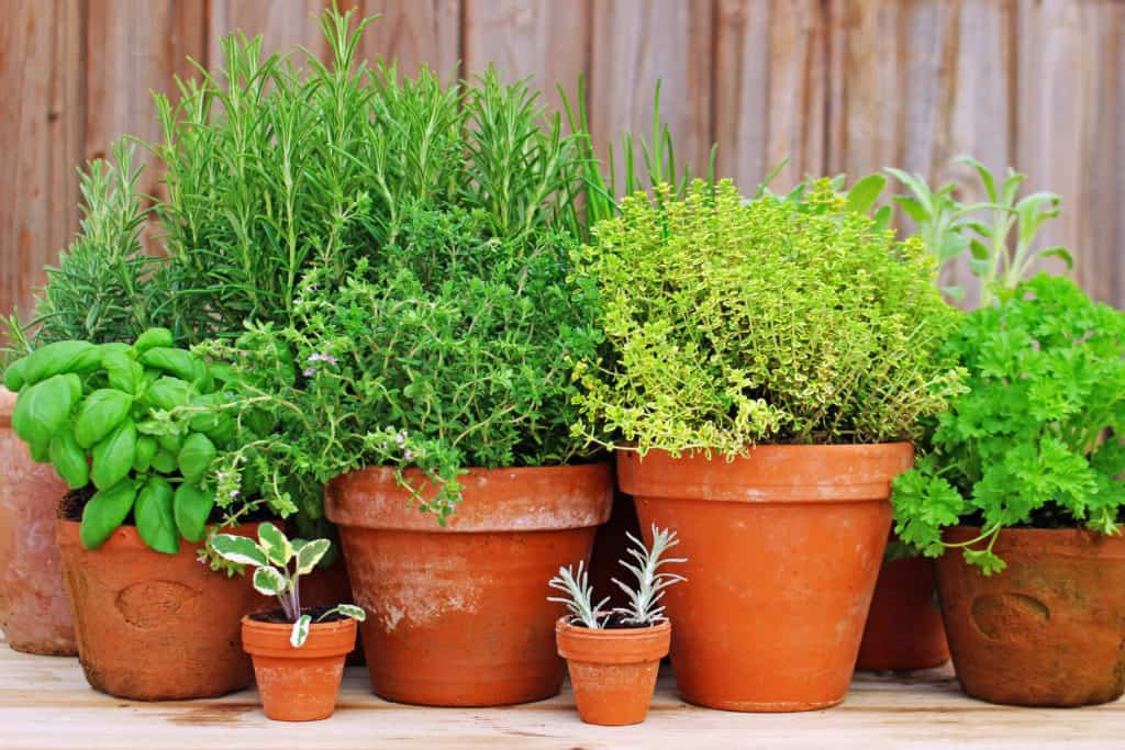 Herbs in large pots