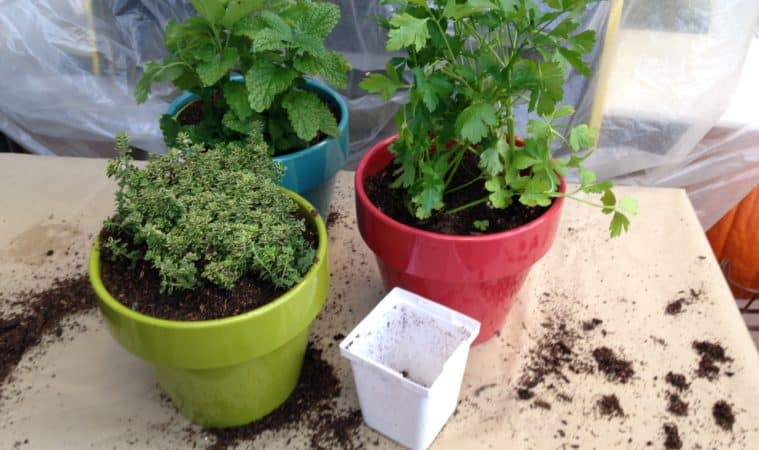 Grow herbs indoors in winter