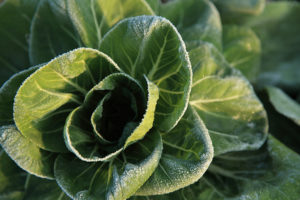 Cabbage with morning frost