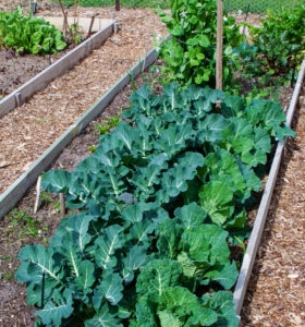 Cabbage family crops that share similar soil pH requirements growing together.