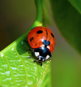 The lady beetle is a beneficial insect that will eat some pest insects.