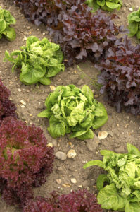 Lettuce bolting in warm weather