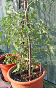 Tomatoes in pots