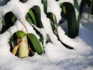 Leeks grow in winter