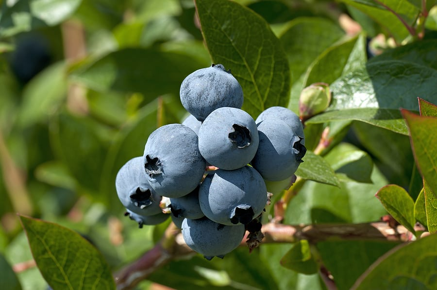 Grow Blueberry varieties