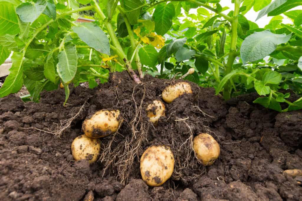 Potatoes for harvest
