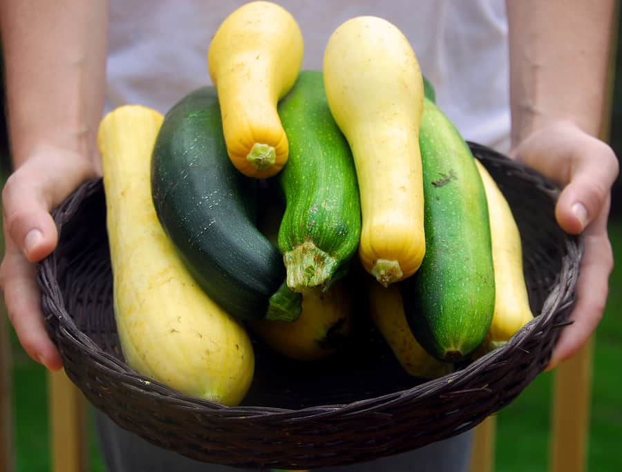 summer squash harvested