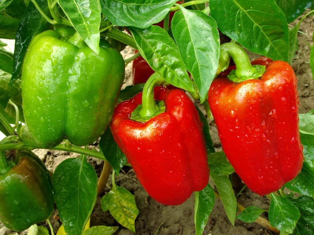 Peppers for harvest