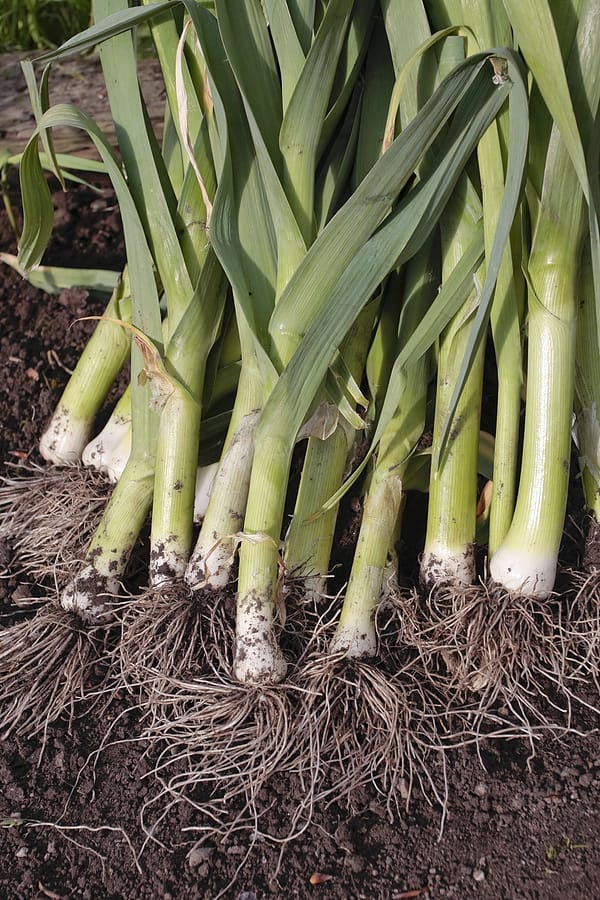 Leeks harvested