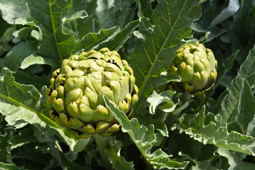 Artichoke buds at harvest