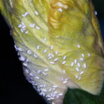Whiteflies on lettuce