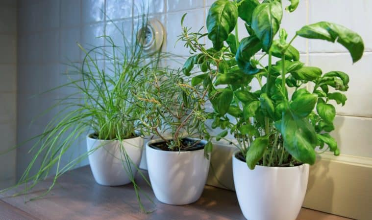 Herbs grow indoors