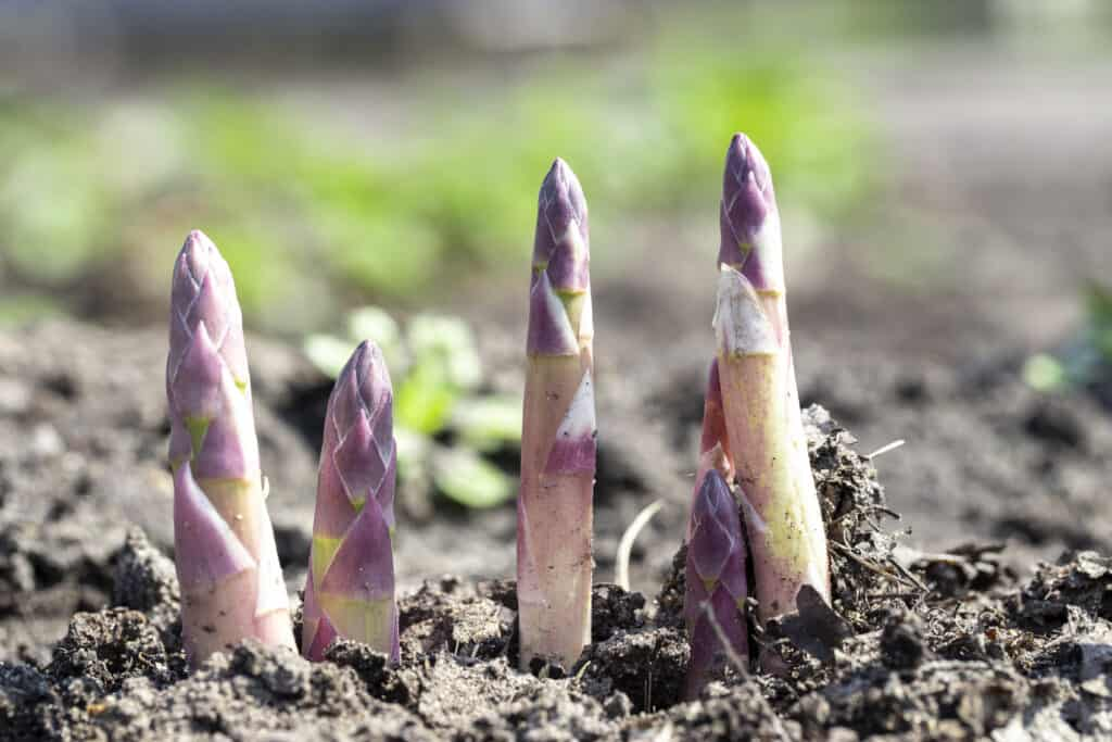 How To Start Growing Asparagus Plants