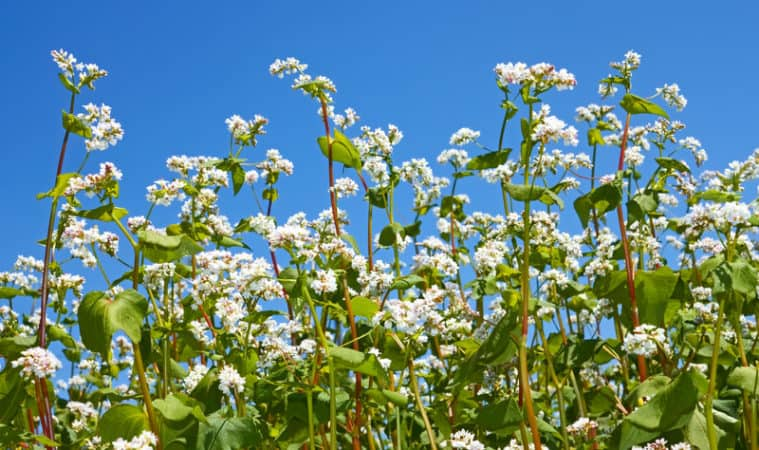 Cover crop and green manure buckwheat