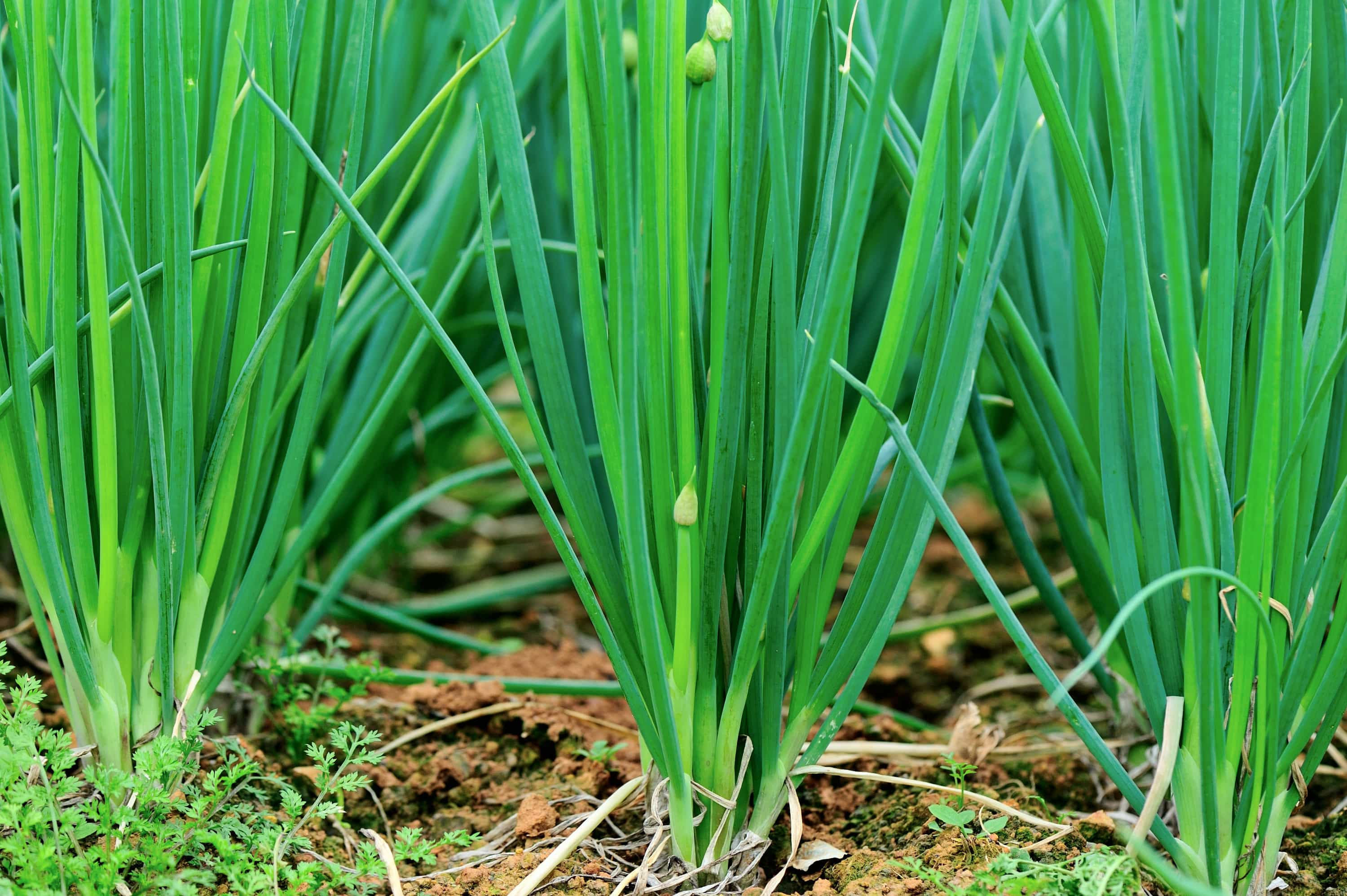 Plant leeks and shallots in autumn and spring.