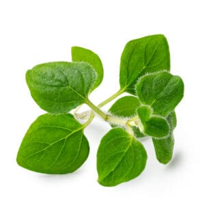 How to grow oregano: oregano leaves