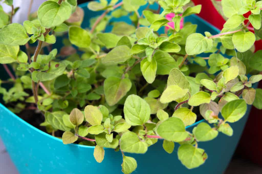How to grow oregano: oregano in pot
