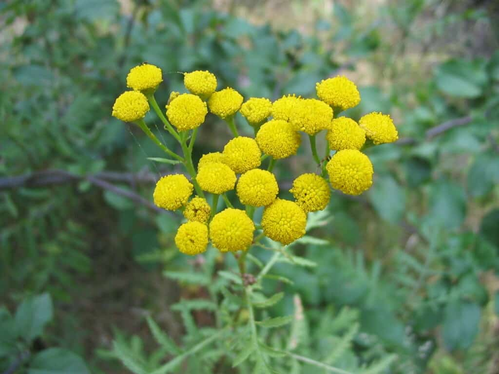 How to grow costmary flowers