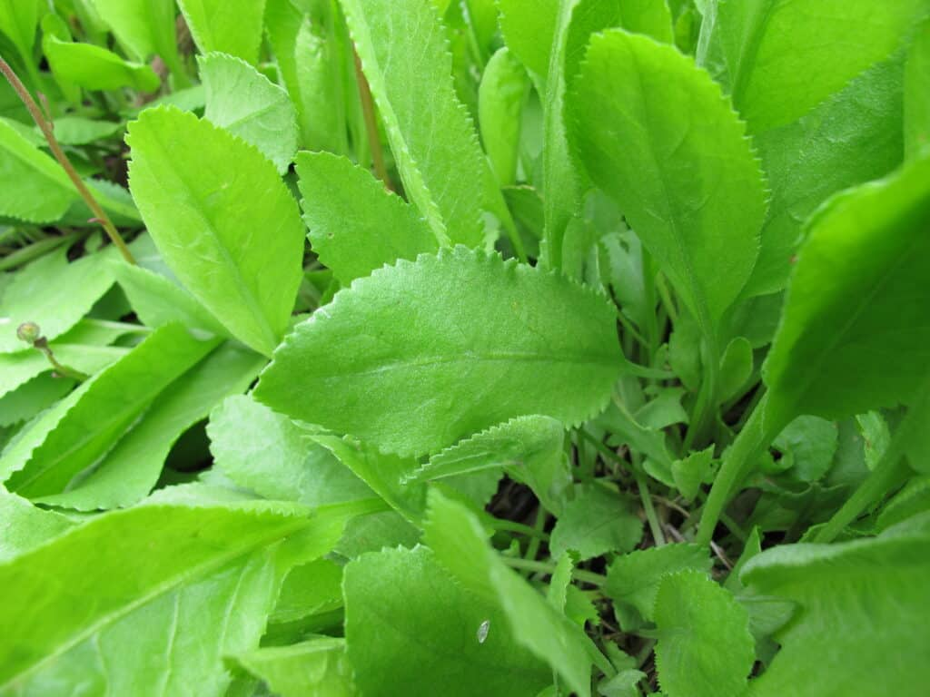 How to grow costmary: costmary leaves
