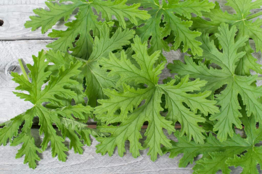How to grow scented geraniums leaves