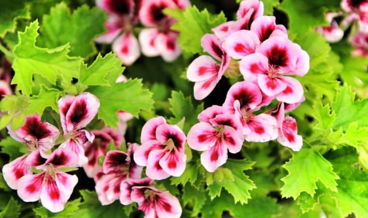 How to grow scented geranium
