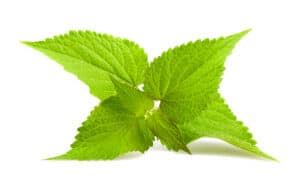 How to grow anise hyssop: leaves
