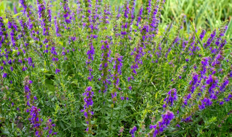 How to grow hyssop: hyssop plants in garden