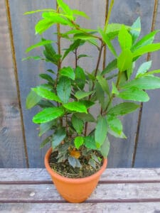 How to grow sweet bay: bay leaf bush