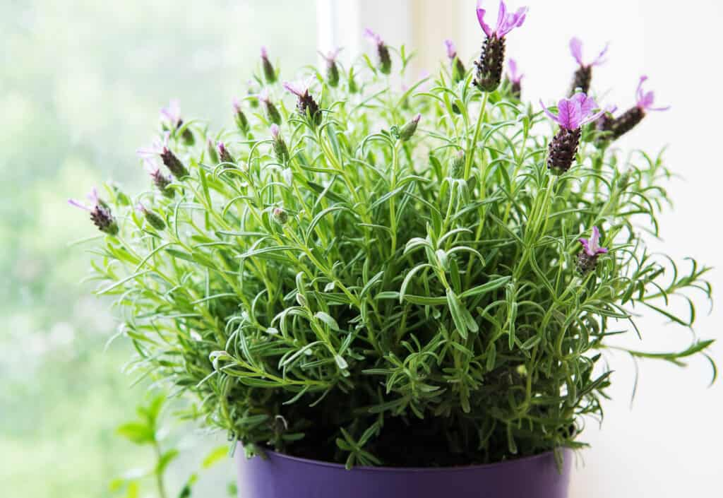 How to grow lavender: lavender in pot