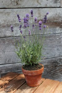 How to grow lavender: lavender in a pot