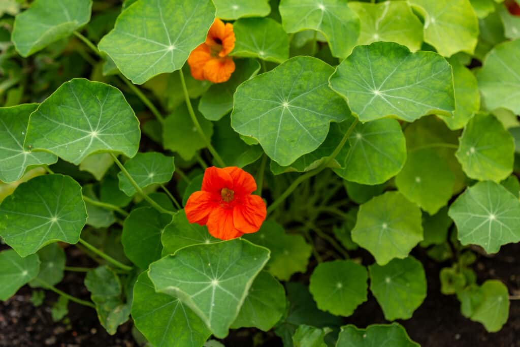 How to grow nasturtium: nasturtium in garden