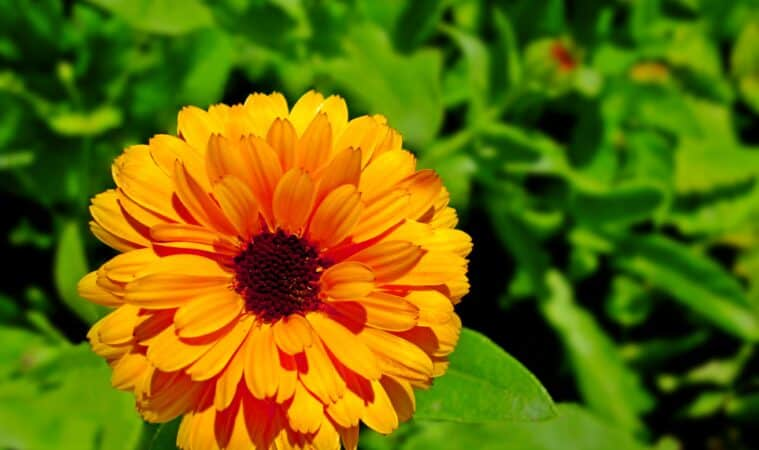 How to grow calendula: double flower