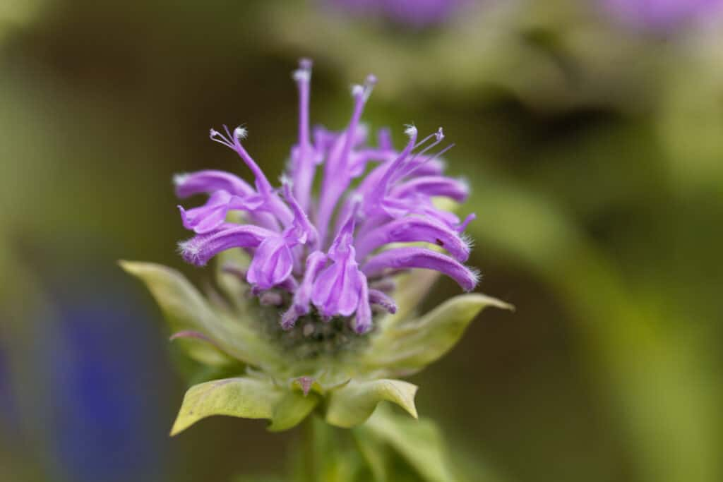 How to grow bee balm: bee balm flowers