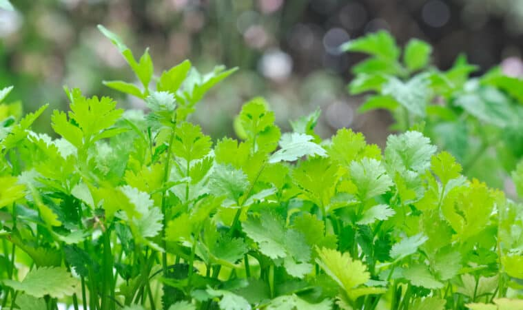 How to grow chervil: chervil plant