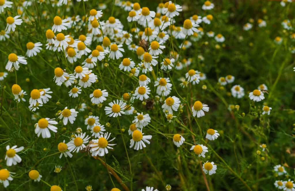 How to grow chamomile: chamomile flowering plants