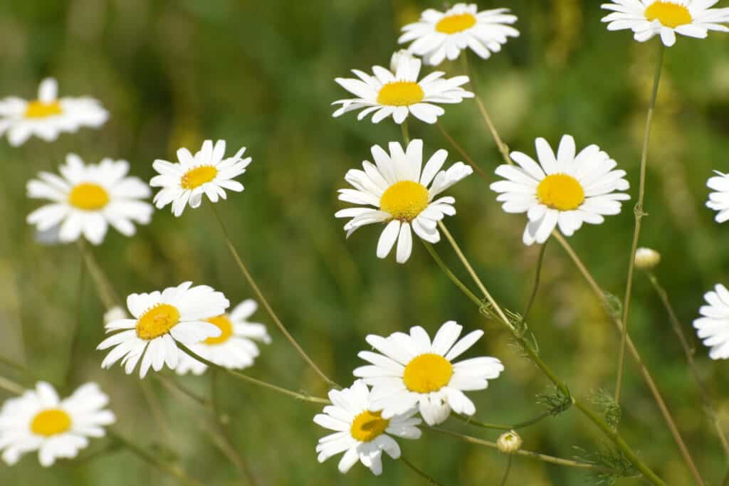 How to grow chamomile: chamomile garden