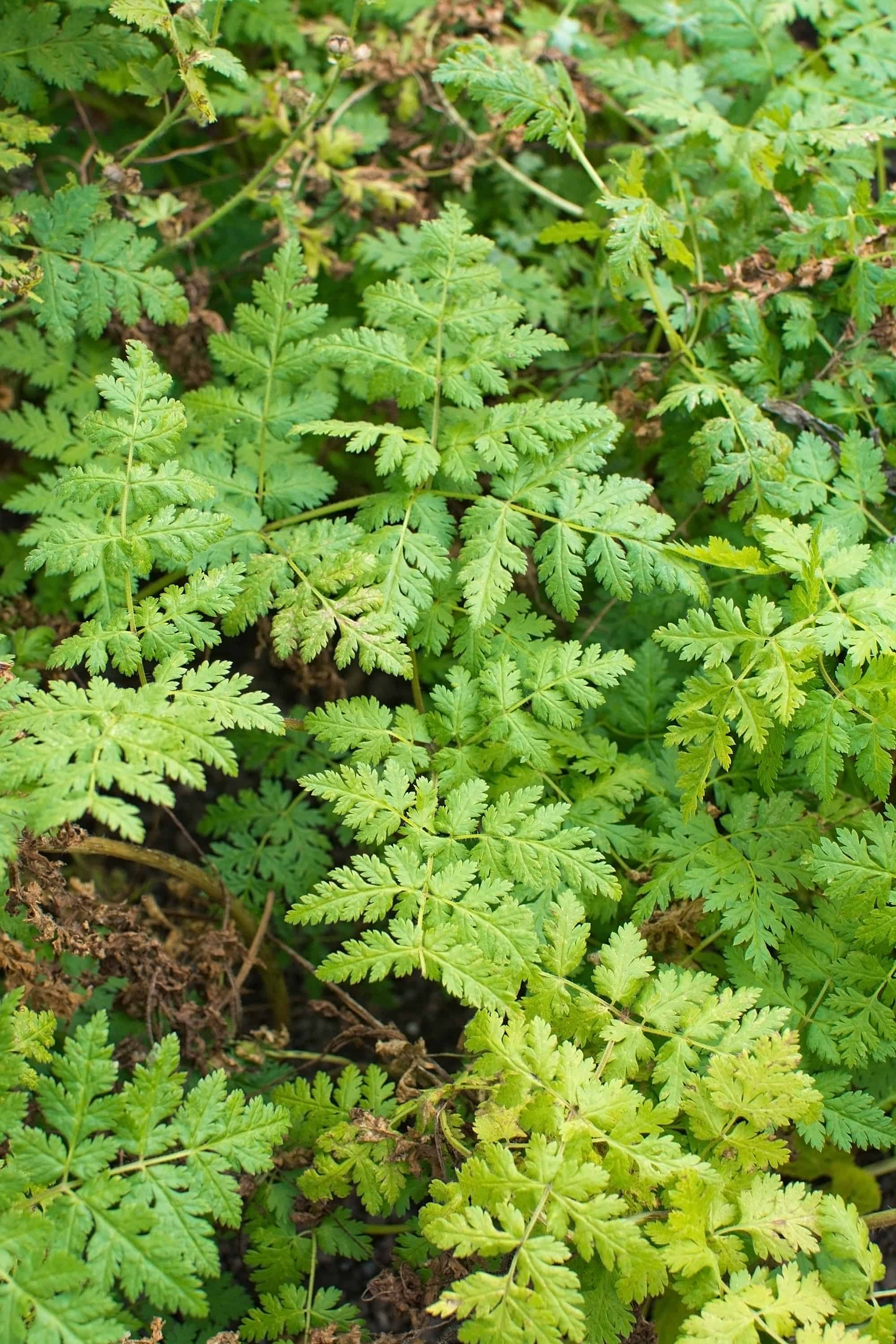 How to grow sweet cicely