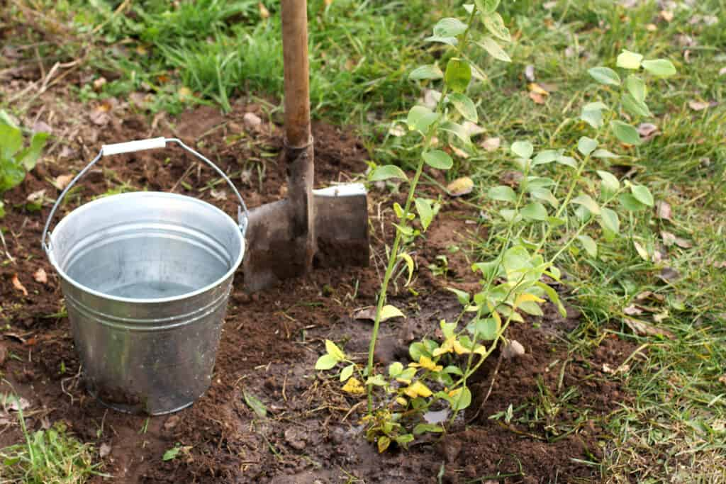 Planting blueberries how to grow blueberries