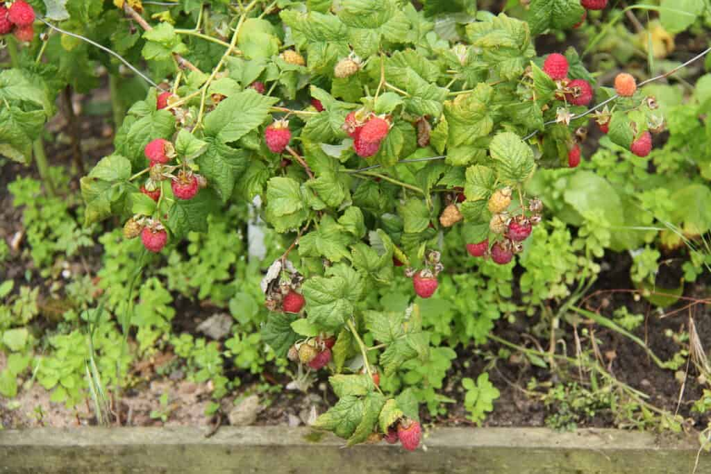 raspberry bush harvest