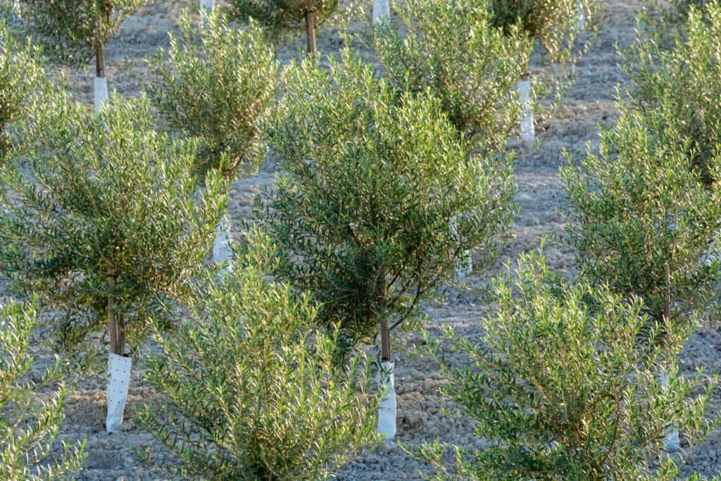 planted olive trees