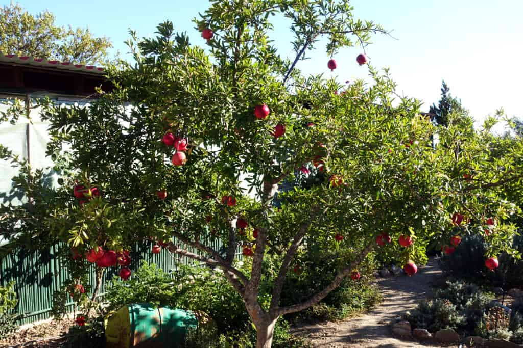 Plant pomegranate tree