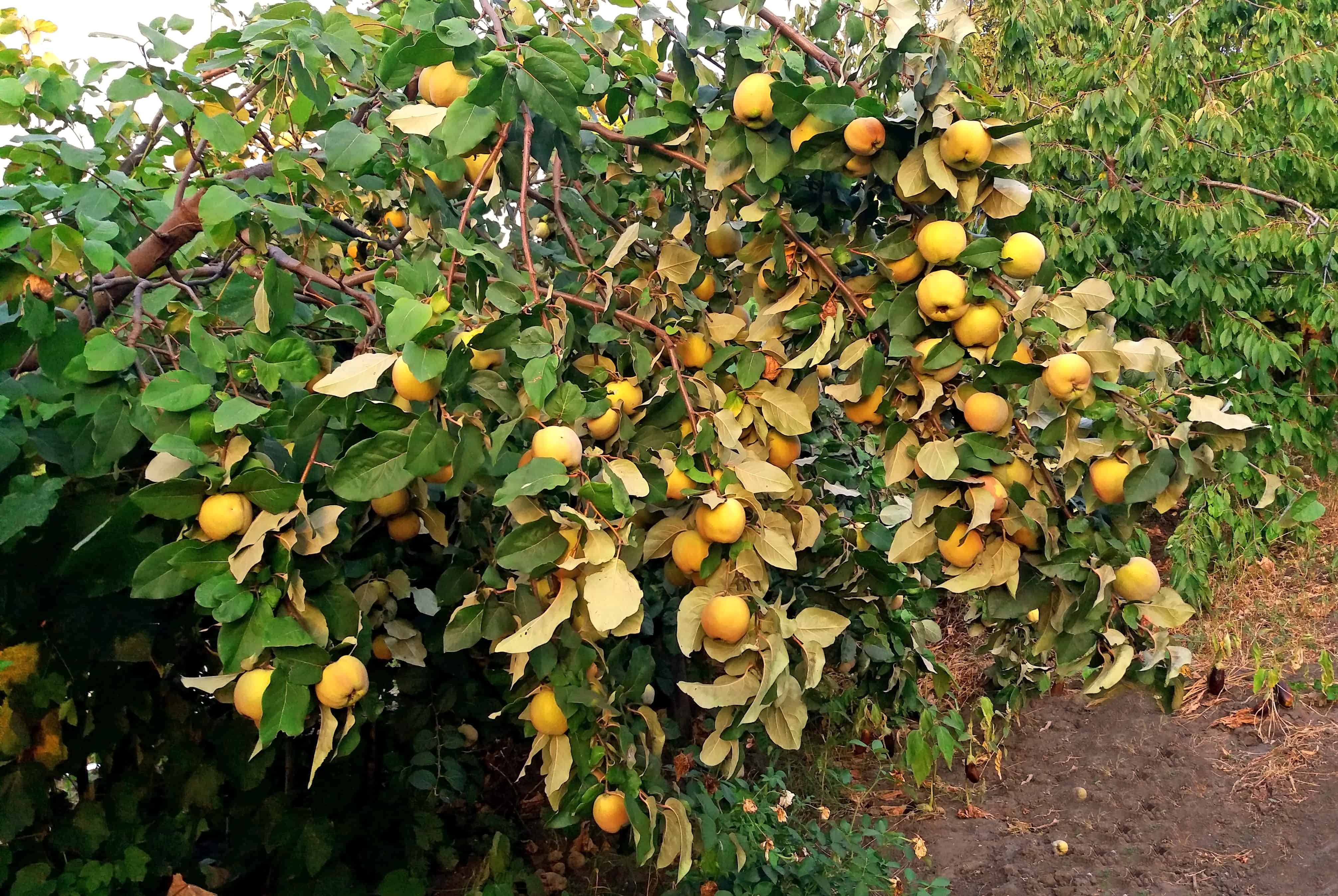 Quince growing