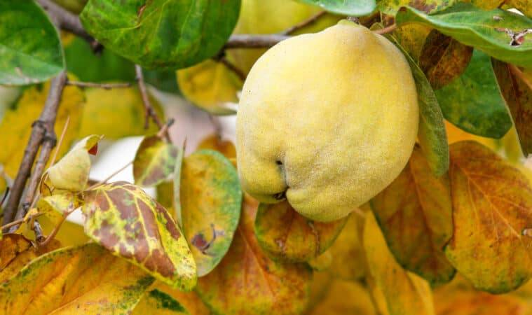 Grow quince