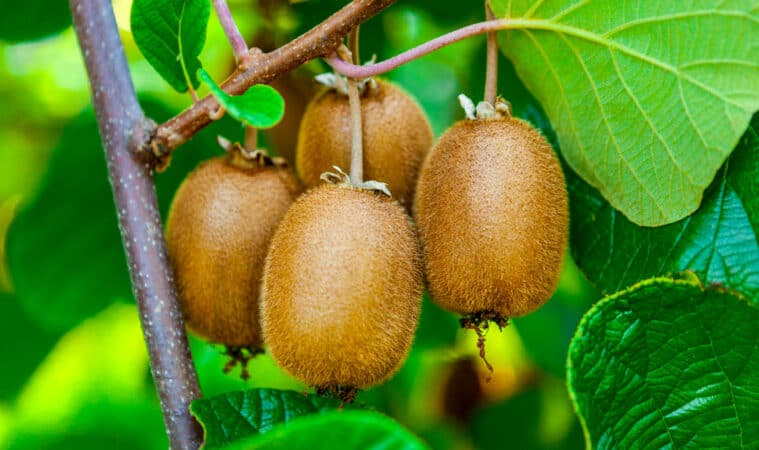 Grow kiwifruit