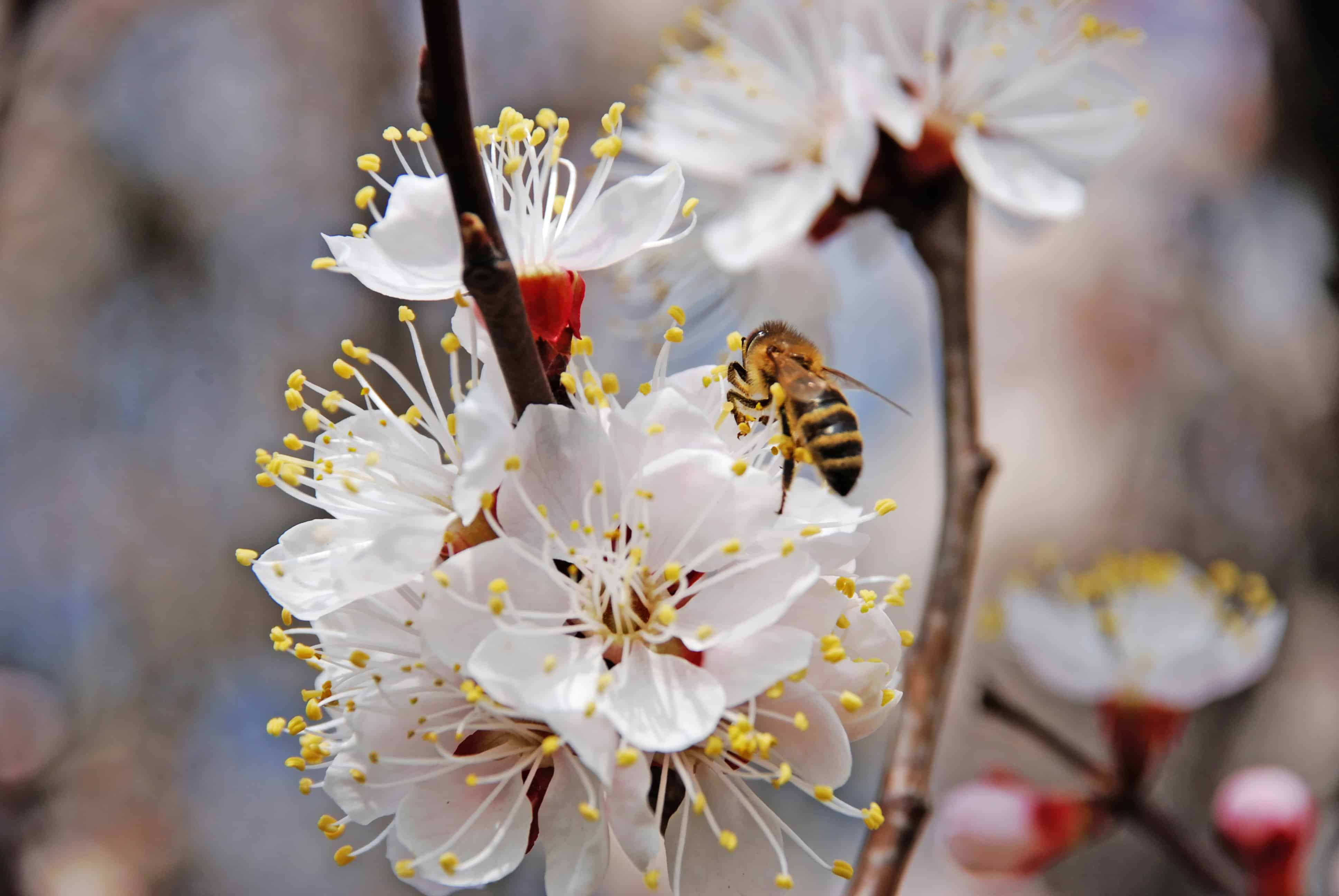 Apricot blooming