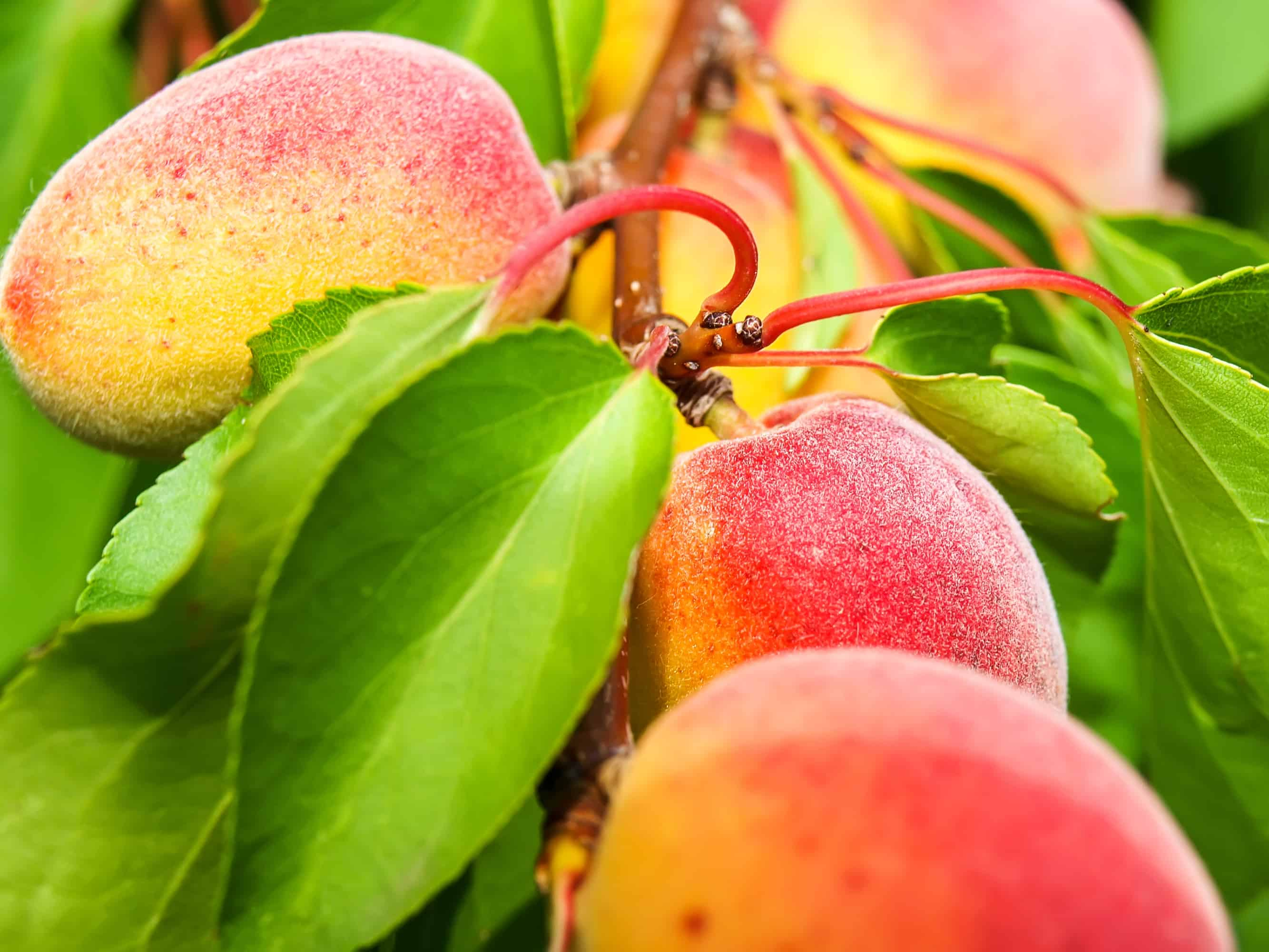 Growing apricots